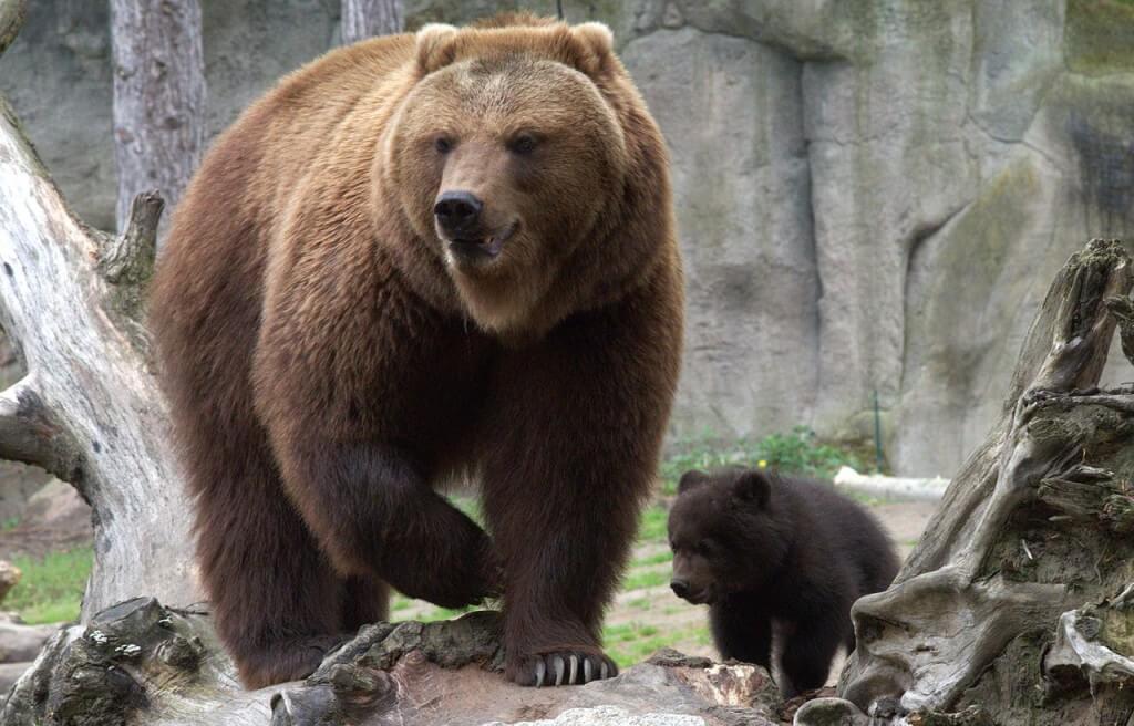 Overleef-de-aanval-van-een-beer-compressor